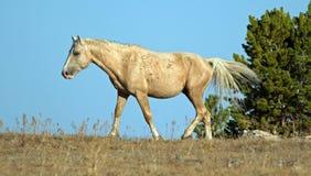 Palomino barwił Dzikiego konia zespołu ogiera jarzy się w popołudniowym świetle słonecznym w Pryor Dzikiego konia Halnym pasmie w Obrazy Stock