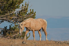 Palomino barwił Dzikiego konia zespołu ogiera odprowadzenie nad Teacup puchar w Pryor Dzikiego konia Halnym pasmie w Montana Obraz Stock