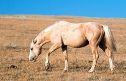 Palomino barwił Dzikiego konia zespołu ogiera w Pryor Dzikiego konia Halnym pasmie w Montana USA Obrazy Stock