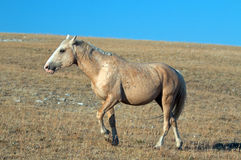 Palomino colored Wild Horse Band Stallion in the Pryor Mountain Wild Horse range in Montana. USA Royalty Free Stock Photo
