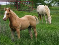 Palomino Colt with Mare. Palomino colt with blaze face standing in knee deep green spring grass, perlino quarter horse mare grazing in background and red pipe Royalty Free Stock Image