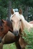 palomino del cavallo della campagna Fotografia Stock Libera da Diritti