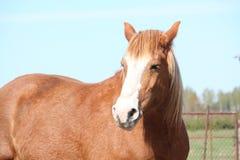 Palomino draght horse portrait. Palomino latvian draught horse portrait Royalty Free Stock Images