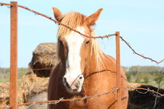 Palomino draught horse behind the fence. Palomino draught horse portrait behind the barbed wire fence Stock Images