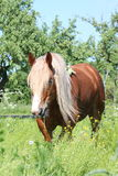 Palomino draught horse eating grass. Palomino draught horse with long mane eating grass at the field in summer Stock Images