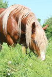 Palomino draught horse eating grass Royalty Free Stock Image