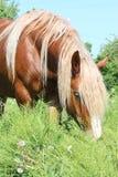Palomino draught horse eating grass Royalty Free Stock Image