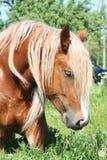 Palomino draught horse eating grass Royalty Free Stock Photography