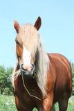 Palomino draught horse eating grass Stock Image