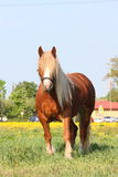 Palomino draught horse eating grass at the pasture Stock Images