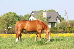 Palomino draught horse eating grass at the pasture Royalty Free Stock Image