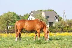 Palomino draught horse eating grass at the pasture Royalty Free Stock Image