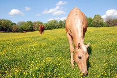 Palomino in a Field of Buttercups. Three beautiful brown mares in a field of yellow butter cups Royalty Free Stock Photography