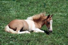 Palomino foal. Palomino horse foal resting on grass Stock Photos