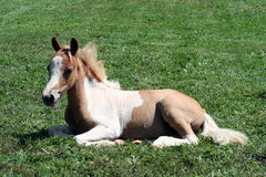 Palomino foal Stock Images