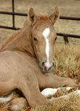 Palomino Foal. Newborn palomino foal, one day old, lying down in brown winter grass and leaves in corral Stock Photography