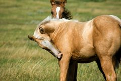 Palomino foal in pasture. Quarter horse palomino foal in pasture Royalty Free Stock Photography
