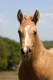 Palomino Foal Portrait. Golden palomino colt with white marking on face against blue sky, green trees Royalty Free Stock Photography
