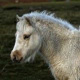 Palomino foal Royalty Free Stock Image