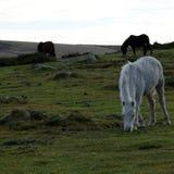 Palomino foal. Wild ponies roam the highlands of Dartmoor in Devon Royalty Free Stock Photo