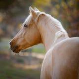 Palomino Gaze. Golden Palomino German Riding Pony looking stunny Royalty Free Stock Photo