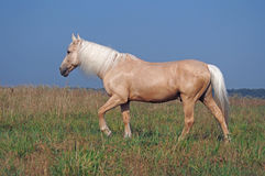 Palomino guzul  horse on a pasture Stock Image