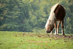 Palomino Haflinger shaking himself in a meadow full of chestnuts royalty free stock images