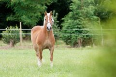 Palomino horse 01 Stock Images