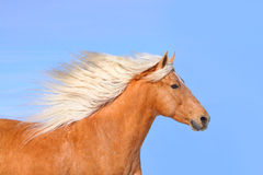 Palomino horse. And blue sky Royalty Free Stock Images