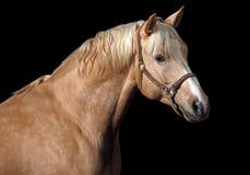 Palomino horse stock images