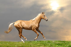 Palomino horse stock images