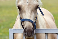 Palomino horse. Head study of a lovely palomino mare looking over a gate stock image