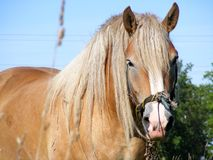 Palomino horse. Palomino draught horse with long mane in the field Stock Photo