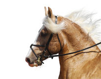 Palomino horse. Portrait of the palomino horse Stock Photos