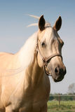 Palomino Horse. Head and shoulder shot of palomino quarter horse with long mane and forelock blowing in breeze stock photo