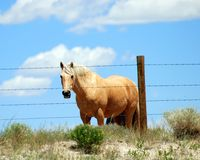 Palomino Horse. Standing at barbed wire fence with beautifiul blue sky behind him Stock Photography