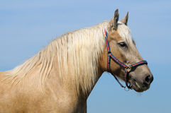 Palomino horse Stock Photo