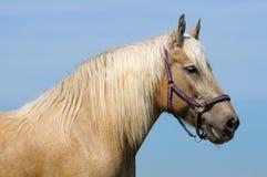 Palomino horse. The portrait of palomino horse Stock Photo
