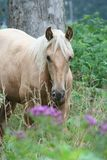 Palomino horse. A beautiful Palomino horse standing in the grass outdoors royalty free stock images