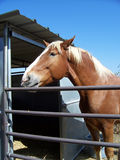 Palomino horse. Horse in pen with palomino coloring stock images