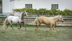 Palomino horse and Appaloosa horse galloping together in a fenced field stock photos