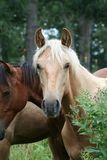 Palomino horse in countryside. Portrait of Palomino horse stood in countryside royalty free stock photo