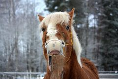 Palomino horse cribbing wooden fence Royalty Free Stock Photography