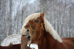 Palomino horse cribbing wooden fence Stock Photo