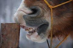 Palomino horse cribbing wooden fence Stock Image