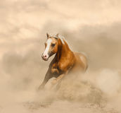 Palomino horse in the dust. Palomino horse is galloping  in the dust Royalty Free Stock Images