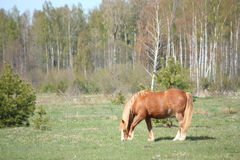 Palomino horse eating grass at the field Royalty Free Stock Photo