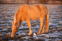 Palomino horse eating winter Royalty Free Stock Image