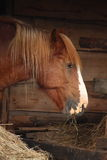 Palomino horse eating yellow hay Stock Images
