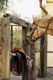 Palomino horse with equipment near Stock Image